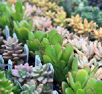 Little Prince has fabulous and cool plants, packaged cleverly and marketed for consumer joy, and has also devised a solid shipping system already in place to go NOW. This could really be a lifeline to hard-pressed retailers who need to shut their doors. ~Lloyd Traven, Peace Tree Farm